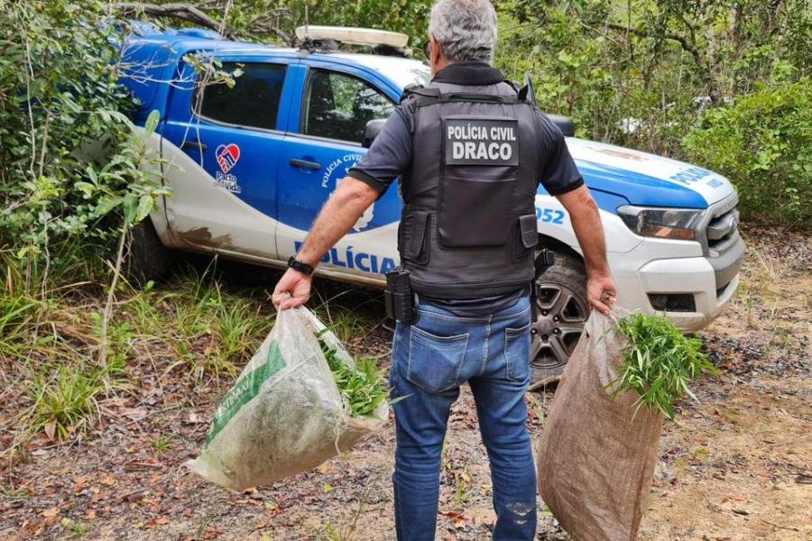 Polícia erradica três mil pés de maconha na Bahia